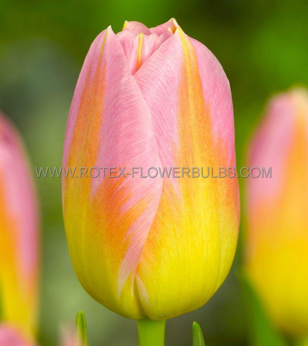 tulipa triumph tom pouce 12 100 pbinbox