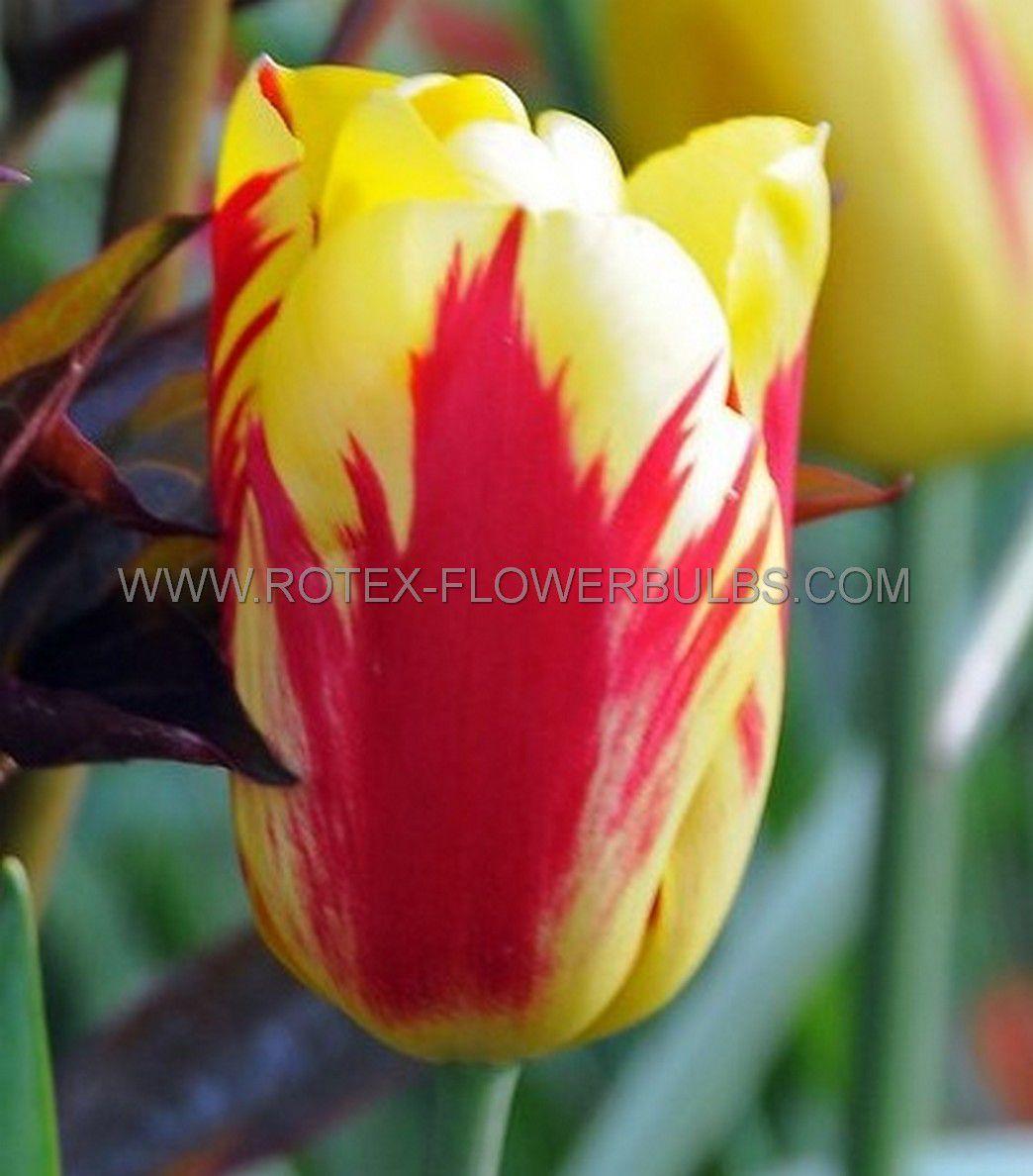 tulipa triumph washington 12 cm 100 pbinbox