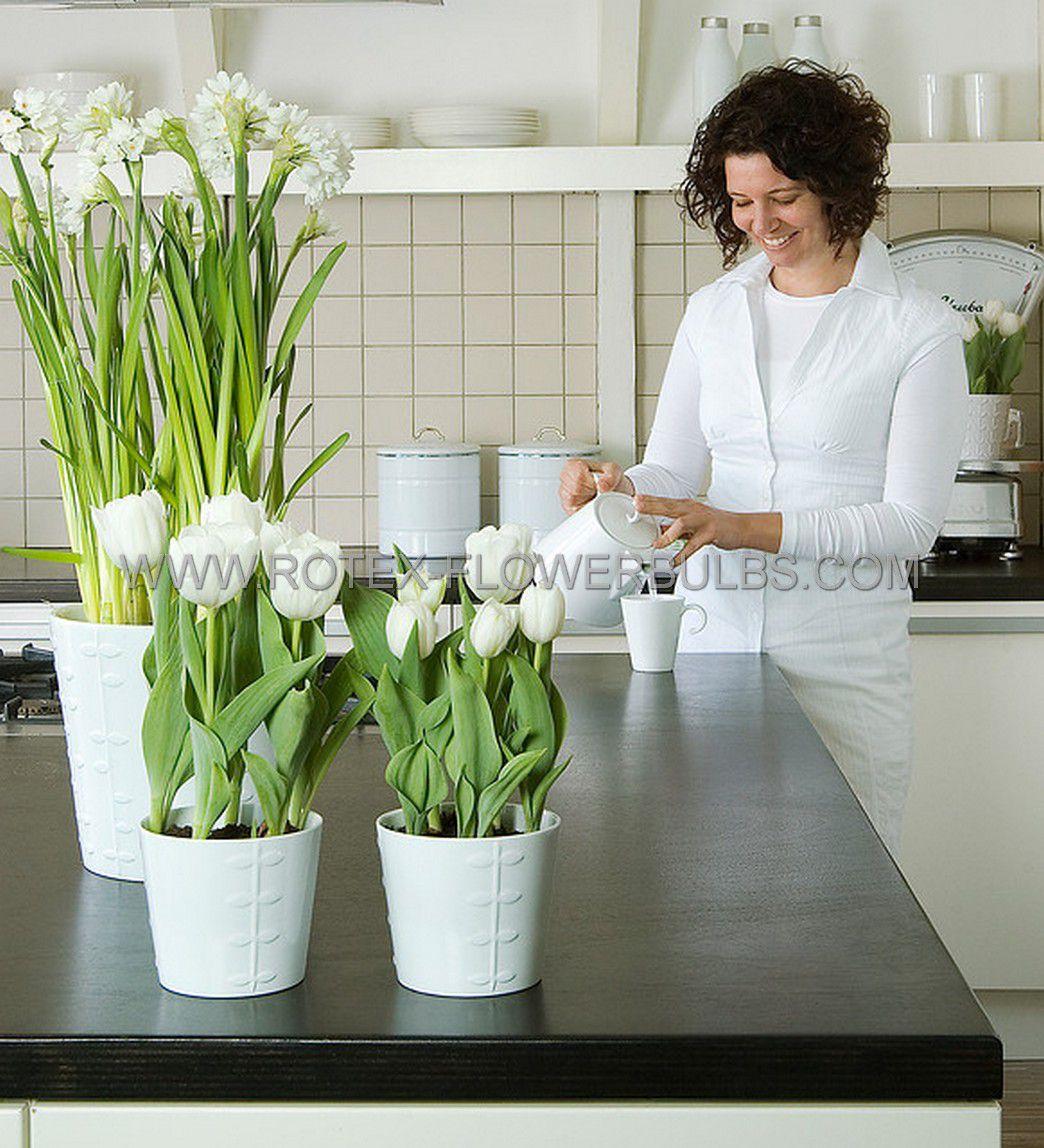 tulipa triumph white dream 12 cm 100 pbinbox