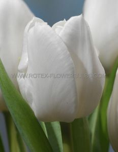 TULIPA TRIUMPH 'WHITE DREAM' 12/+ CM. (500 P.PLASTIC TRAY)