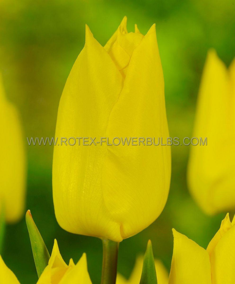 tulipa triumph yokohama 12 cm 100 pbinbox