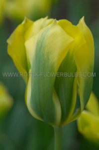 TULIPA VIRIDIFLORA 'GREEN 'N GOLD' 12/+ CM. (100 P.BINBOX)