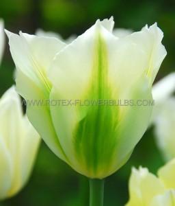 TULIPA VIRIDIFLORA 'SPRING GREEN' 12/+ CM. (100 P.BINBOX)