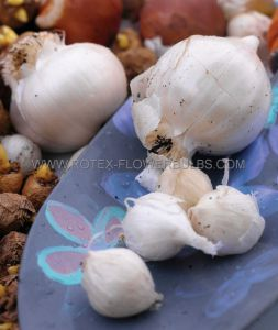 VEGETABLE GARLIC 'WHITE CALIFORNIA' I (50 P.BINBOX)