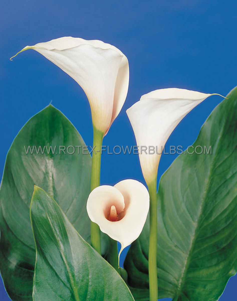zantedeschia calla lily aethiopica 1618 cm 25 pbinbox