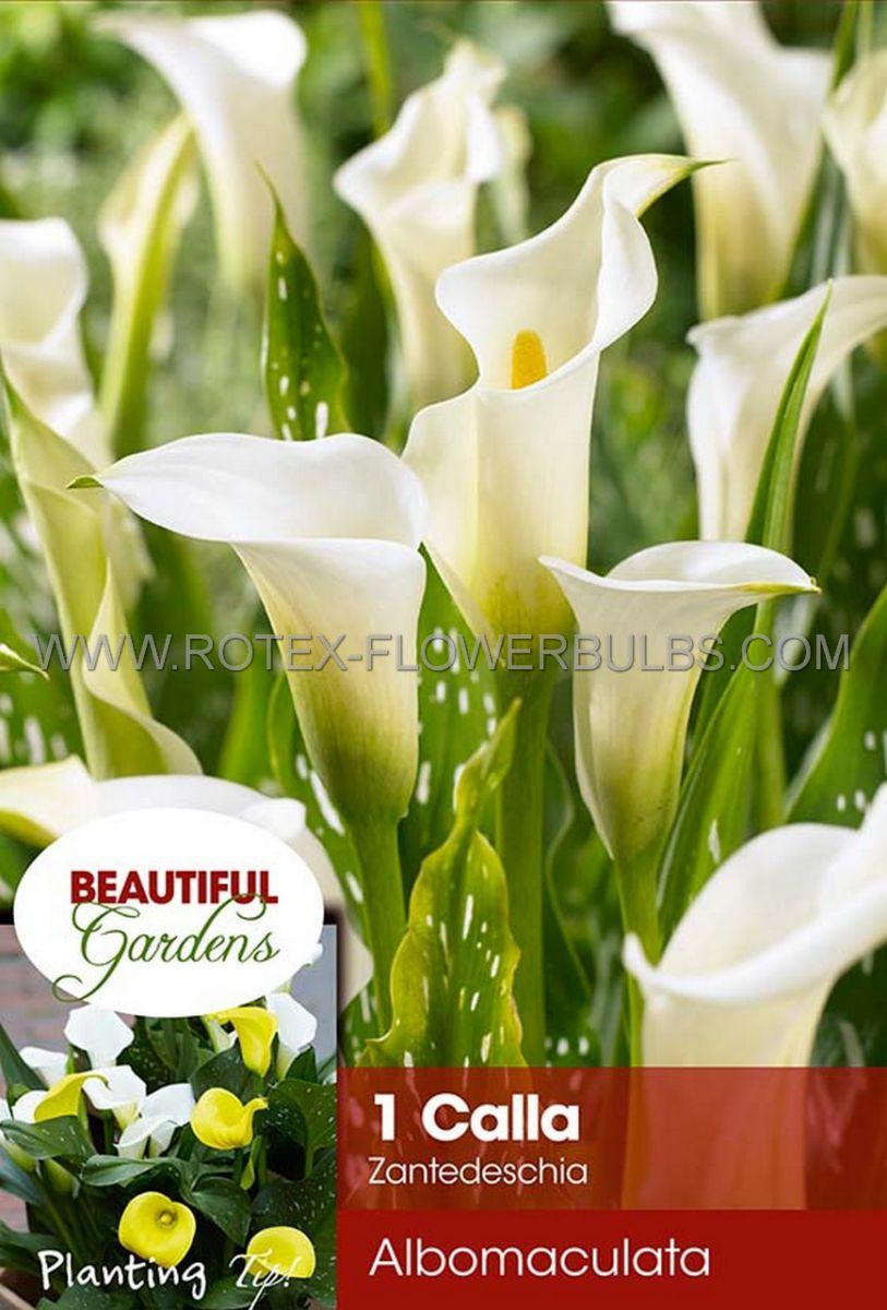 zantedeschia calla lily albomaculata 1618 cm 10 pkgsx 1