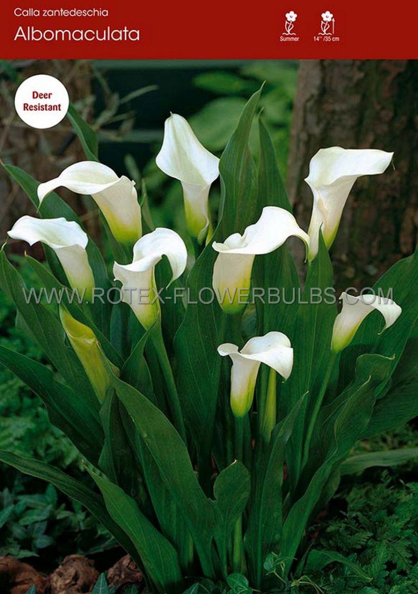 zantedeschia calla lily albomaculata 1618 cm 25 pbinbox