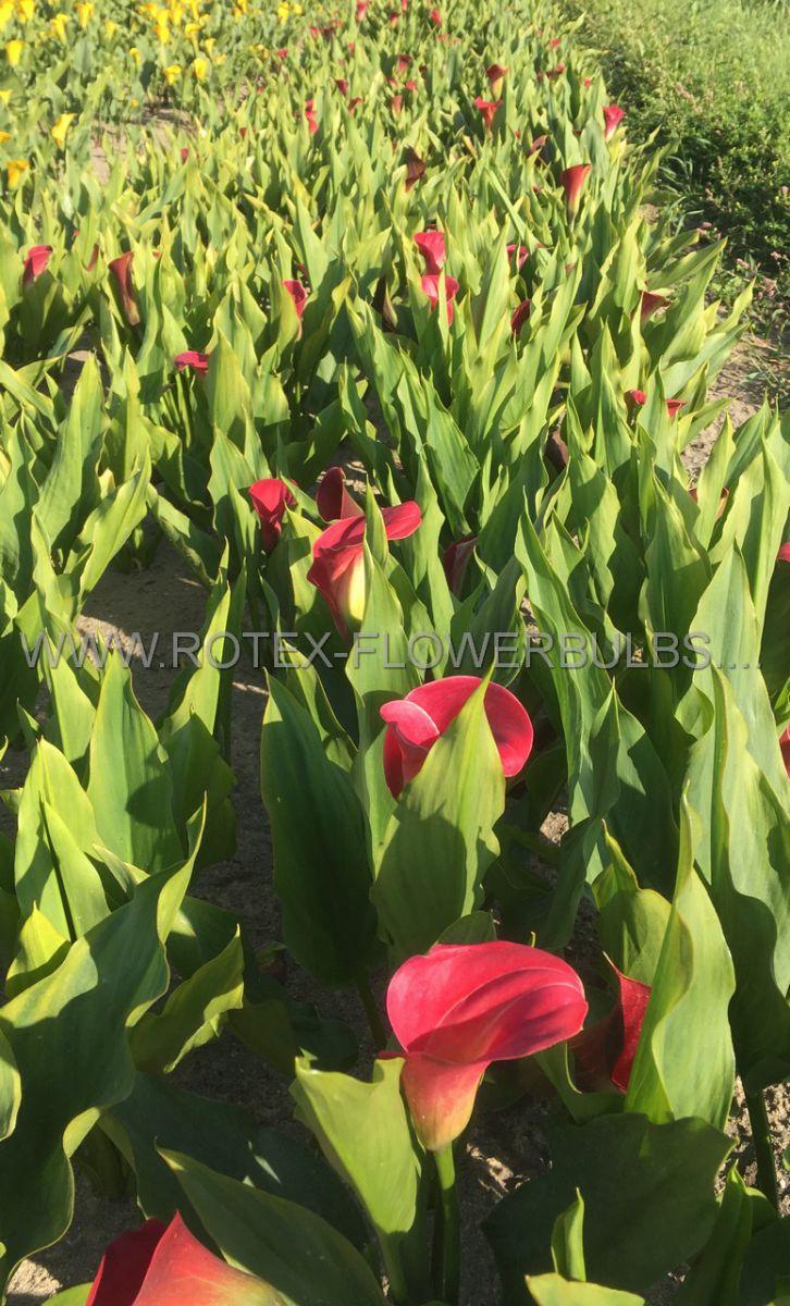 zantedeschia calla lily anneke 1618 cm 10 pkgsx 1