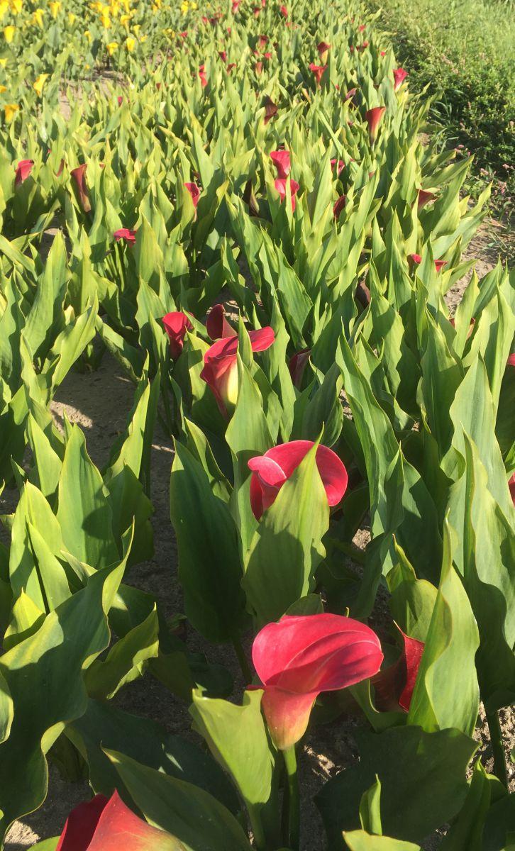 zantedeschia calla lily anneke 1618 cm 25 pbinbox