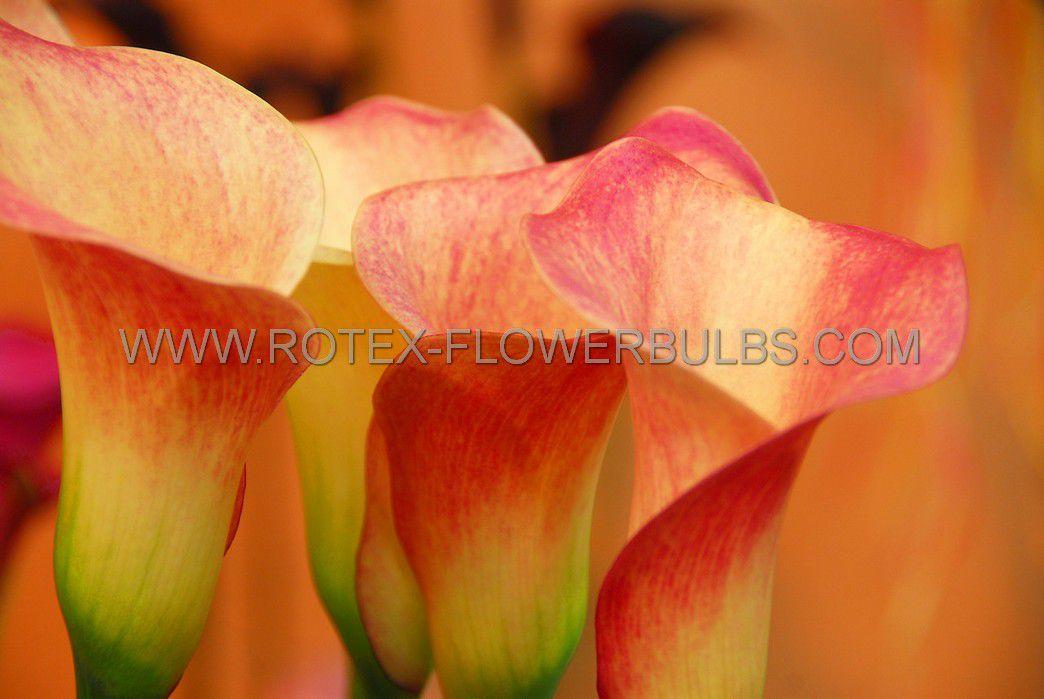 zantedeschia calla lily blaze 1618 cm 25 pbinbox