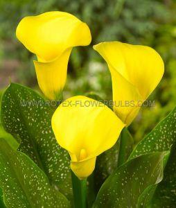 ZANTEDESCHIA (CALLA LILY) 'CALIFORNIA GOLD' 16/18 CM. (10 PKGS.X 1)