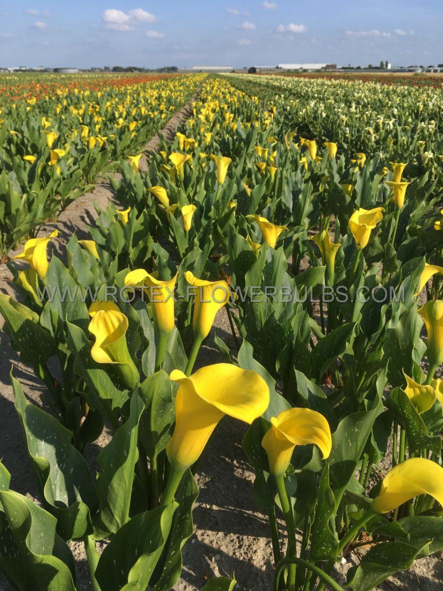 zantedeschia calla lily california gold 1618 cm 10 pkgsx 1