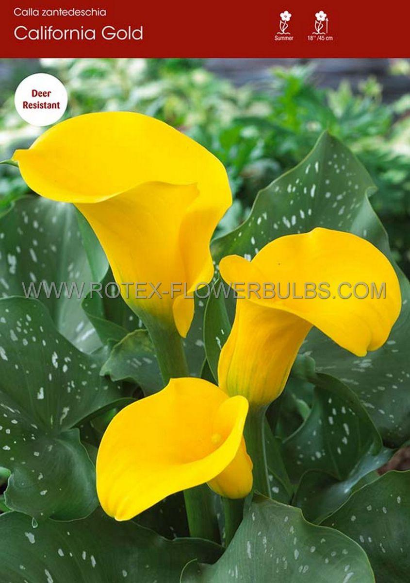 zantedeschia calla lily california gold 1618 cm 25 pbinbox