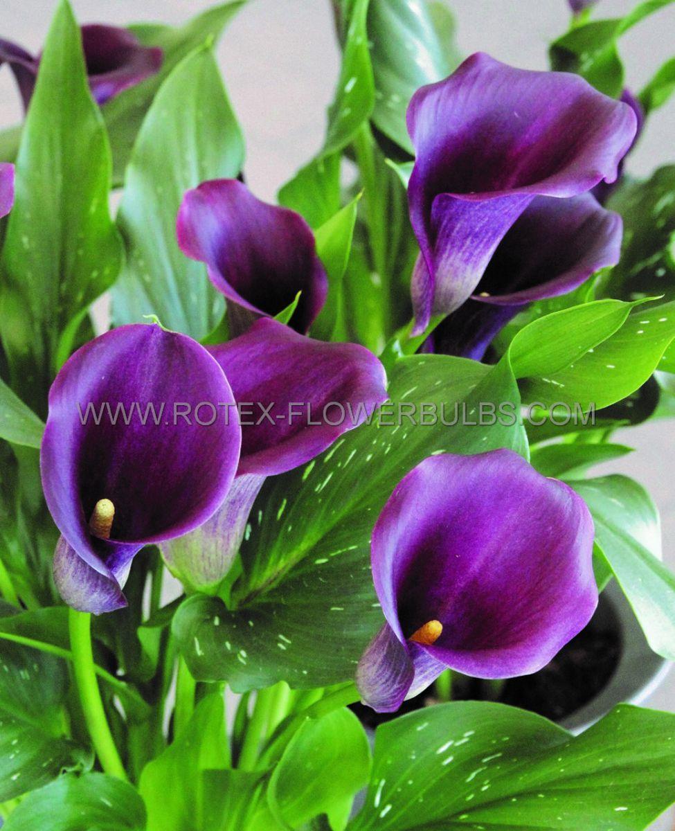 zantedeschia calla lily captain reno 1416 cm 25 pcarton