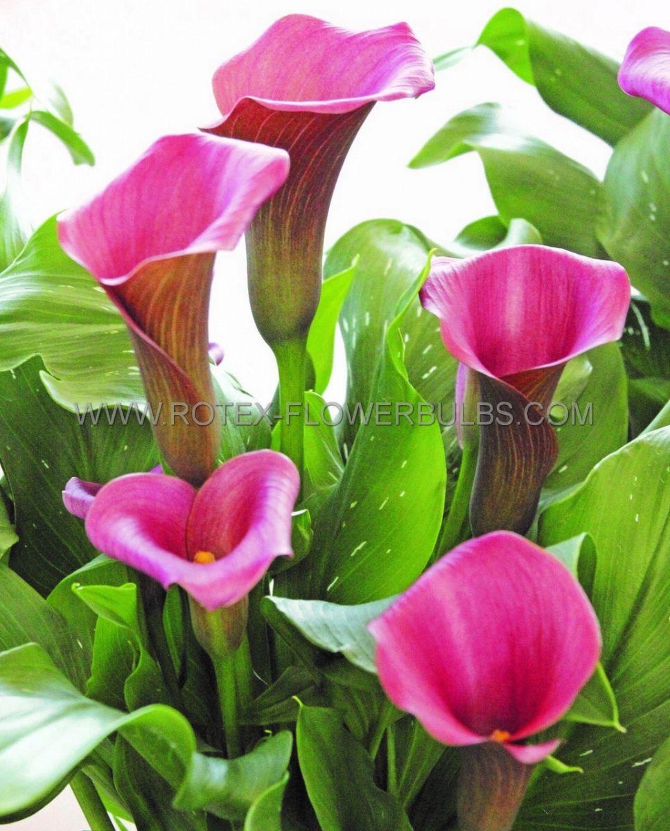 zantedeschia calla lily captain romance 1416 cm 25 pcarton