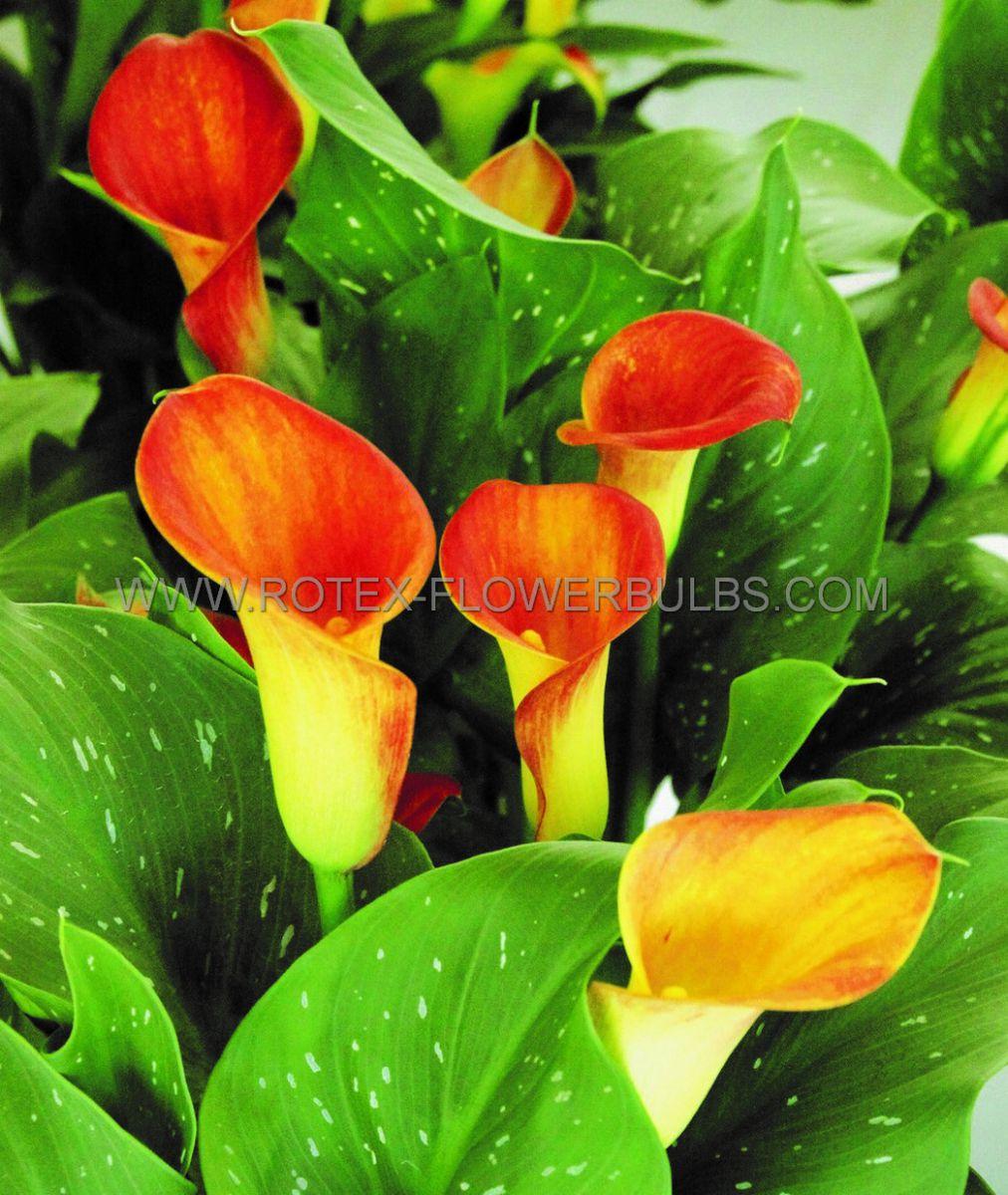 zantedeschia calla lily captain trinity 1416 cm 25 pcarton