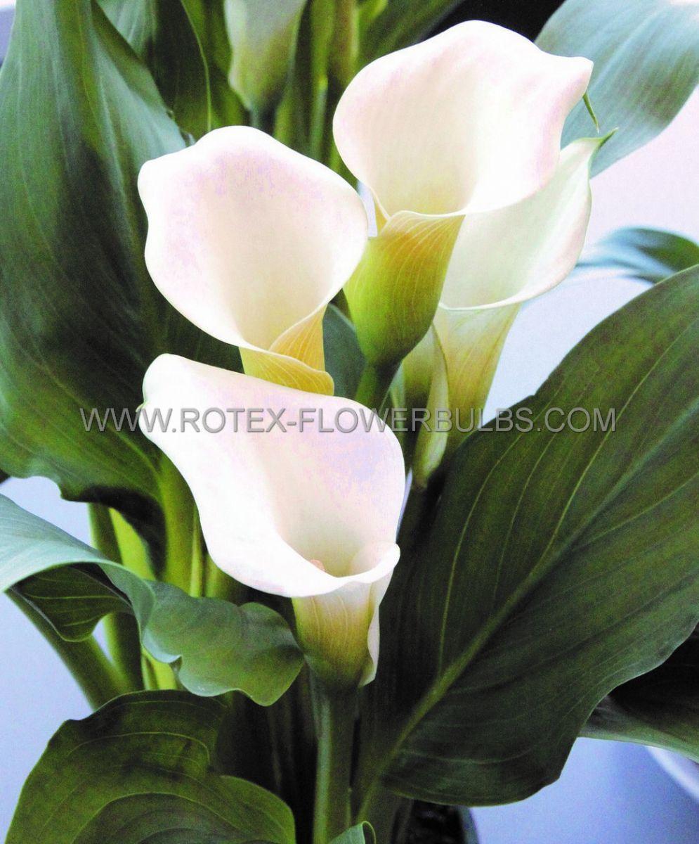 zantedeschia calla lily crystal blush 1416 cm 25 pcarton