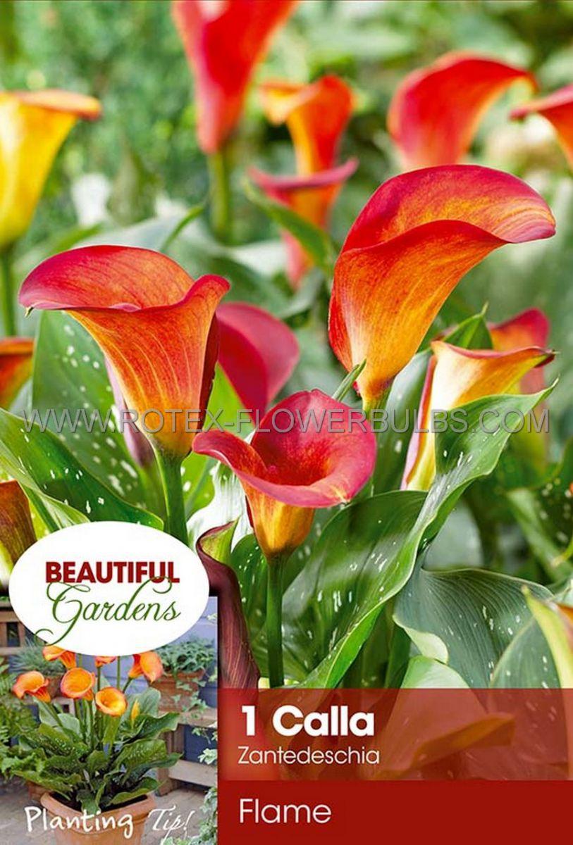 zantedeschia calla lily flame 1618 cm 10 pkgsx 1