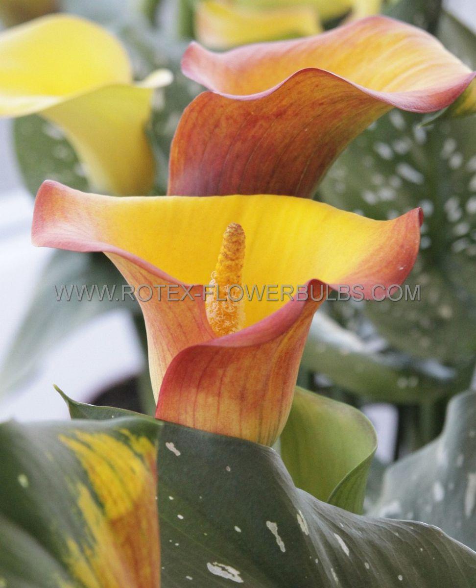 zantedeschia calla lily flame 1618 cm 25 pbinbox
