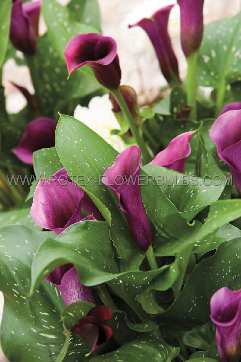 zantedeschia calla lily lavender gem 1618 cm 10 pkgsx 1