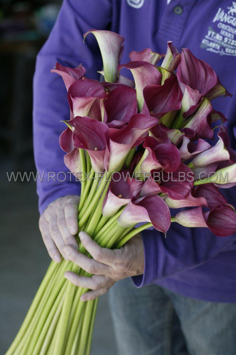 zantedeschia calla lily lavender gem 1618 cm 25 pbinbox