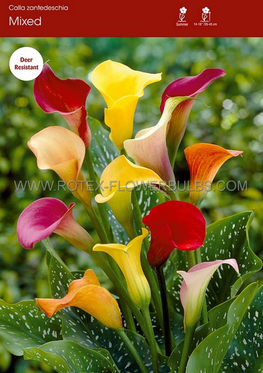 zantedeschia calla lily mix 1618 cm 25 pbinbox