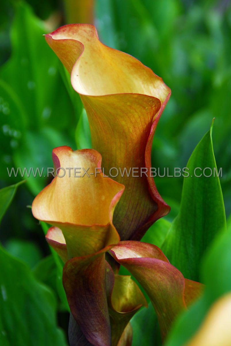 zantedeschia calla lily mozart 1618 cm 25 pbinbox