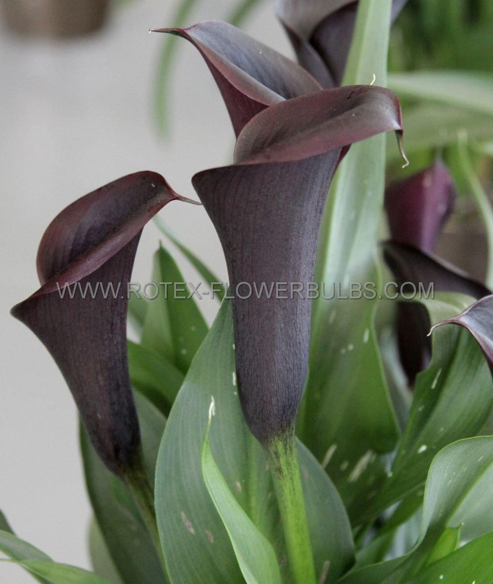 zantedeschia calla lily odessa 1416 cm 25 pcarton