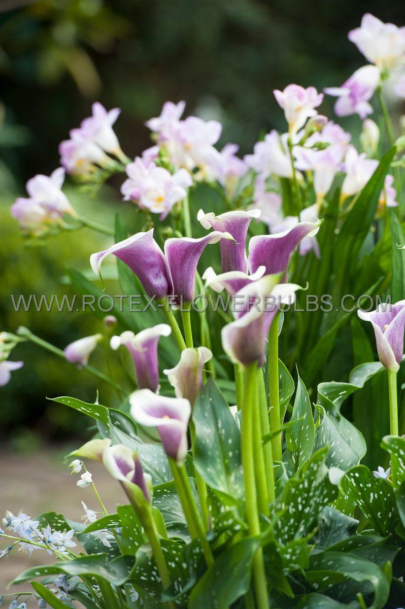 zantedeschia calla lily picasso 1618 cm 25 pbinbox