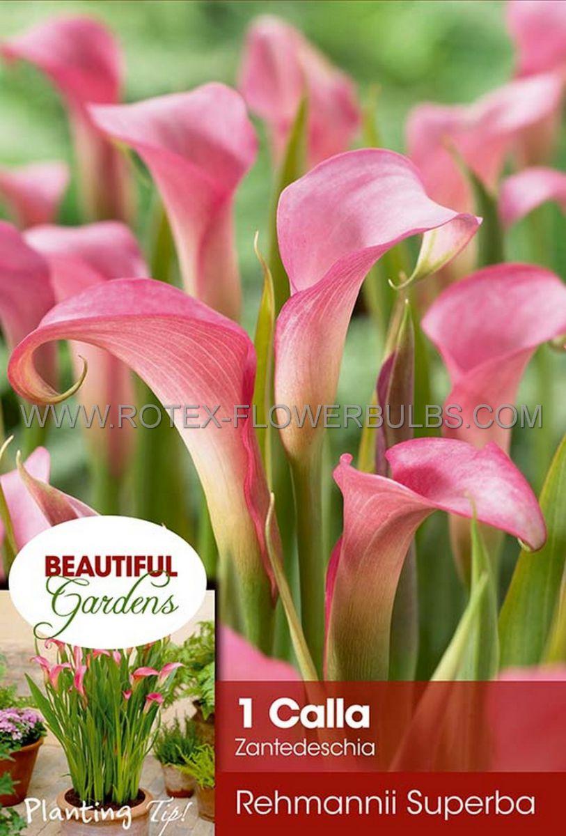 zantedeschia calla lily rehmannii superba 1618 cm 10 pkgsx 1