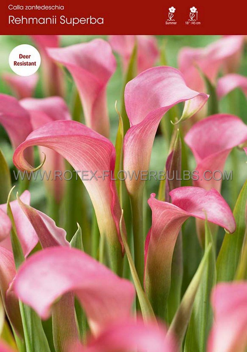 zantedeschia calla lily rehmannii superba 1618 cm 25 pbinbox