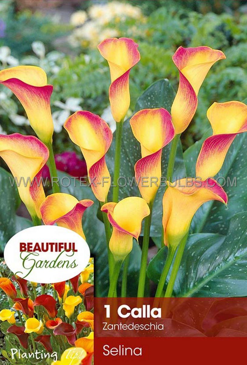 zantedeschia calla lily selina 1618 cm 10 pkgsx 1