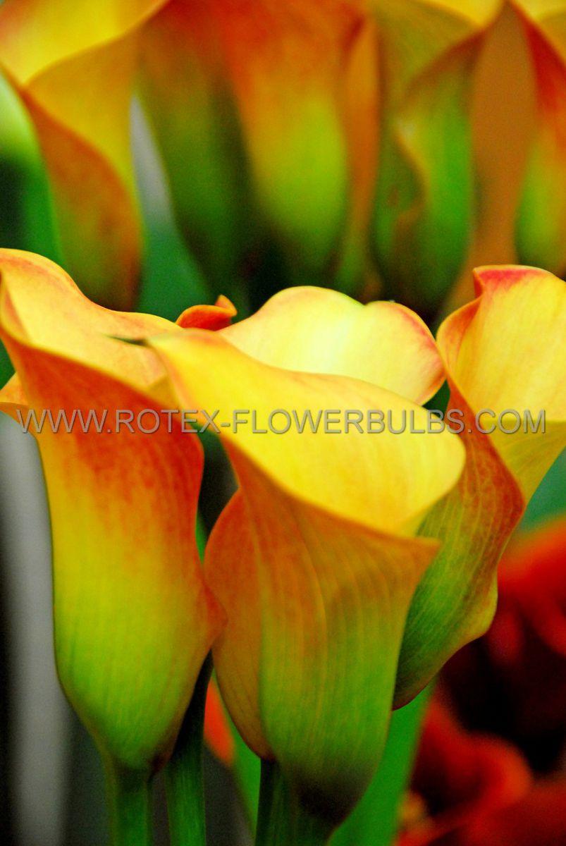zantedeschia calla lily selina 1618 cm 25 pbinbox
